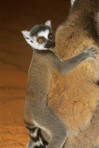 Stock Photo: 4179-23251 Ring-tailed Lemur Baby (Lemur catta), Berengi Reserve, Madagascar