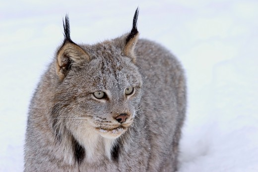 Canadian lynx standing in snow (Lynx canadensis) Northwoods of Minnesota controlled conditions : Stock Photo