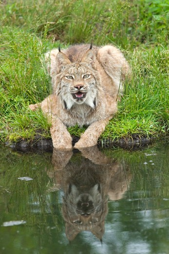 Stock Photo: 4179-23298 Canadian lynx (Lynx canadensis) paws in water  Northwoods of Minnesota controlled conditions