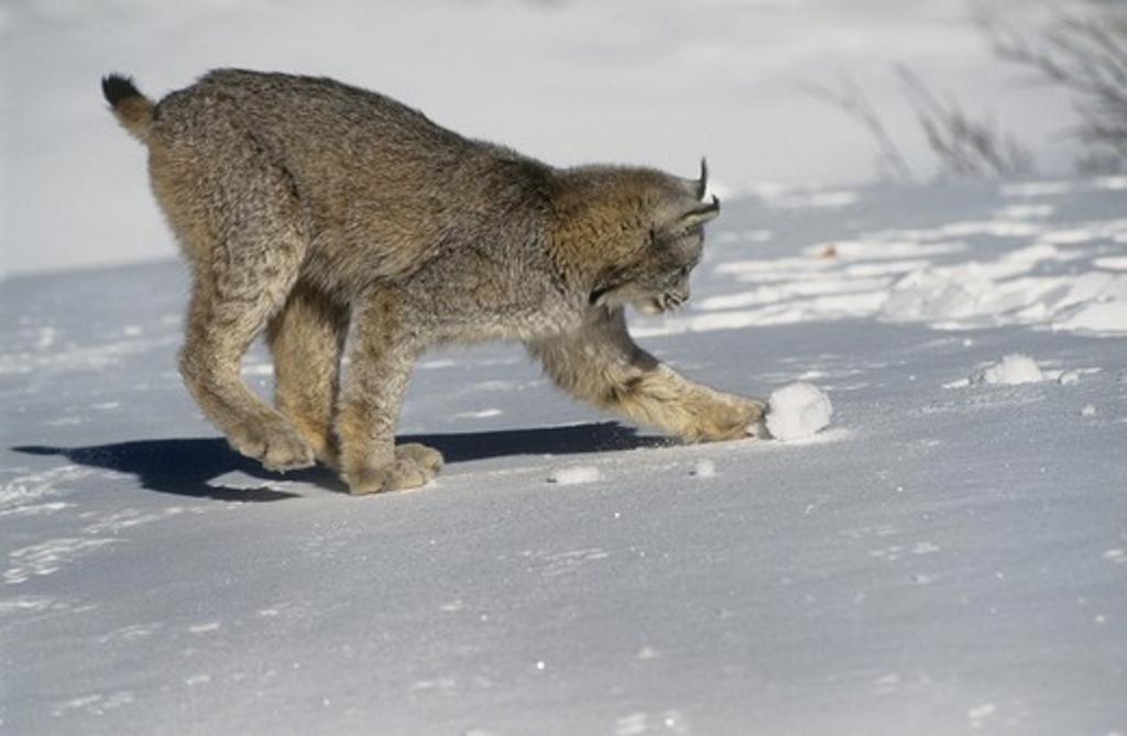 Stock Photo: 4179-23349 Canada Lynx (Lynx canadensis) Canada, Alaska, N. USA