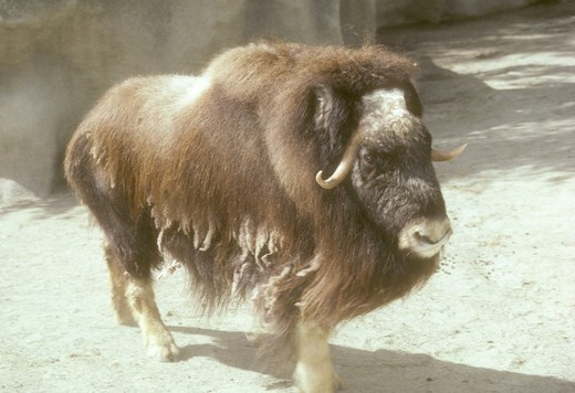 Stock Photo: 4179-23366 Musk Oxen  (Ovibos moschatus) San Diego Zoo