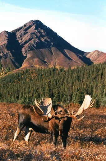 Alaskan Moose Bull (Alces alces) Denali Natl Park, Alaska : Stock Photo
