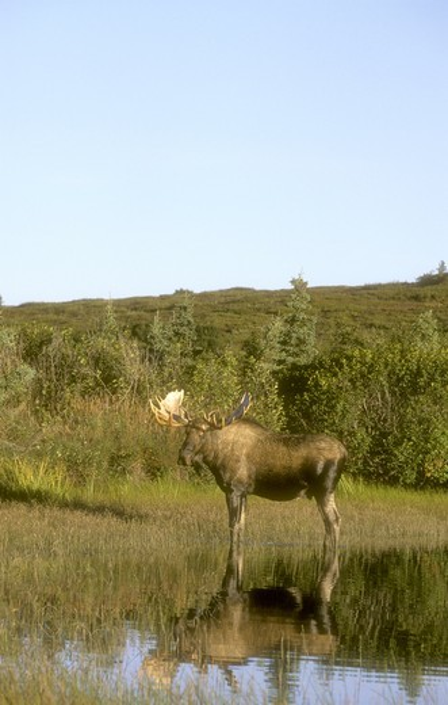 Stock Photo: 4179-23718 Alaskan Moose (A. alces), Denali N.P., AK