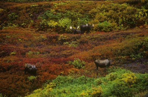 Stock Photo: 4179-23728 Four Alaskan Moose (A. alces), Denali NP, AK autumn tundra, Alaska
