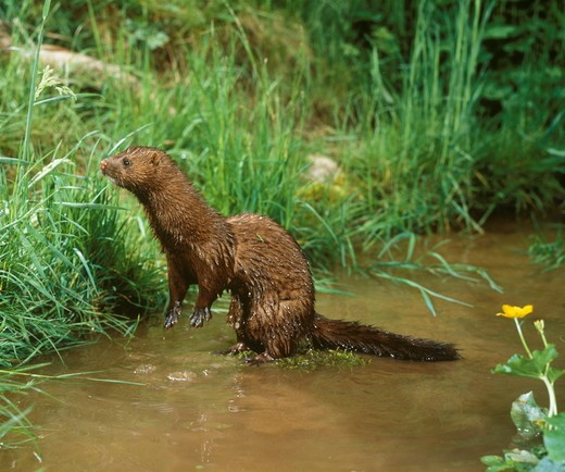 Stock Photo: 4179-23836 Mink (Mustela vison) Germany