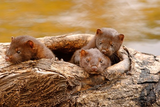 A family of mink at edge of river (Mustela vison) Kettle River, Minnesota Captive situation : Stock Photo