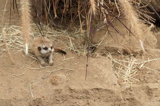 Young Slender-tailed Meerkat near burrow (Suricata suricatta)  San Diego Zoo, California : Stock Photo