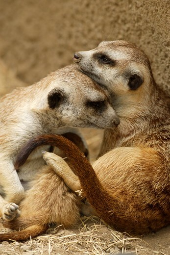 Stock Photo: 4179-23933 Slender-tailed Meerkat nursing young and showing affection to mate (Suricata suricata) San Diego Zoo, California