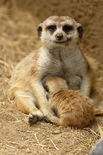 Stock Photo: 4179-23934 Slender-tailed Meerkat nursing young (Suricata suricata) San Diego Zoo, California