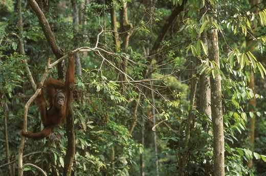 Stock Photo: 4179-24523 Orangutan (Pongo pygmaeus) hanging from branch, Gunung Leuser NP, Indonesia