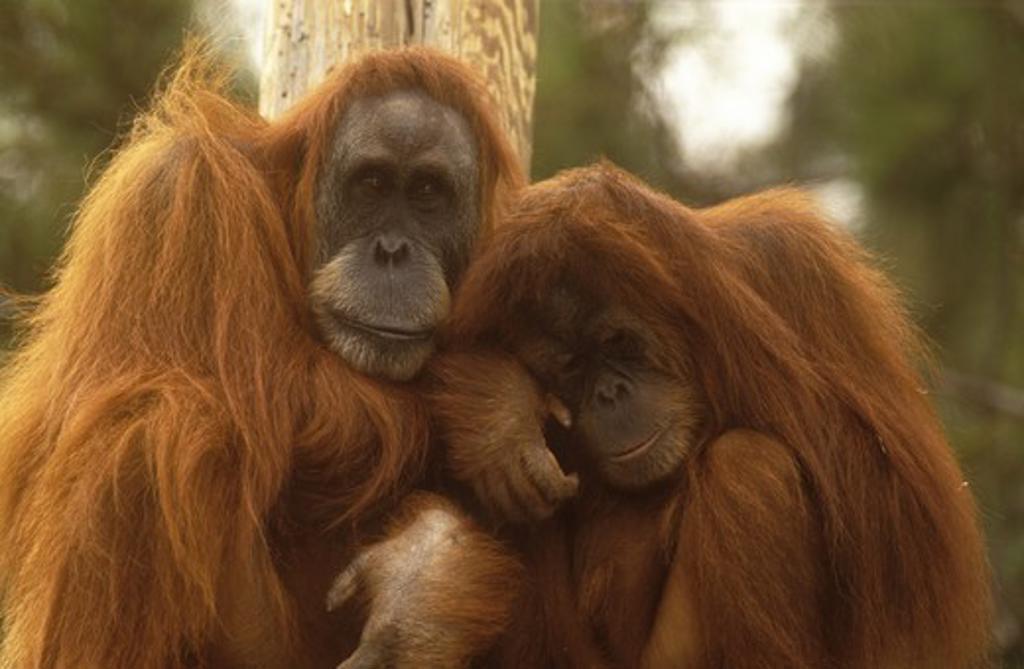 Sumatran Orangutans (Pongo pygmaeus abelii) San Diego Zoo : Stock Photo