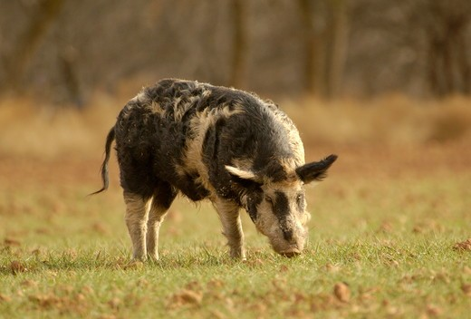 Feral Hog, Boar, South Texas : Stock Photo