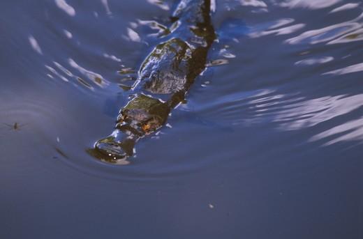 Platypus swimming (Ornithorhynchus anatinus) Queensland - Australia : Stock Photo