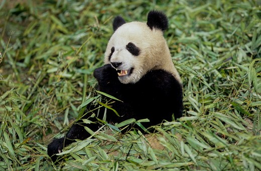 Stock Photo: 4179-24745 Giant Panda Eating Bamboo (Ailuropoda Melanoleuca), Wolong, Sichuan, China, Sichuan Giant Panda Sanctuary, Man & Biosphere Protected Area, Unesco