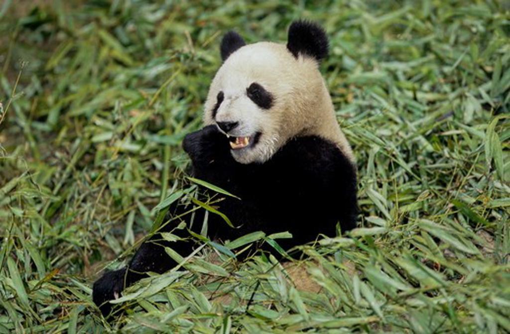 Giant Panda Eating Bamboo (Ailuropoda Melanoleuca), Wolong, Sichuan, China, Sichuan Giant Panda Sanctuary, Man & Biosphere Protected Area, Unesco : Stock Photo