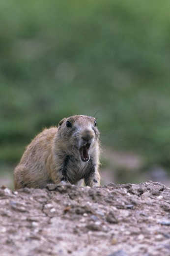 Stock Photo: 4179-24807 Young Blacktail Prairie Dog (Cynomys ludovicianusa) OK Wichita Mt NWR, OK  yawning