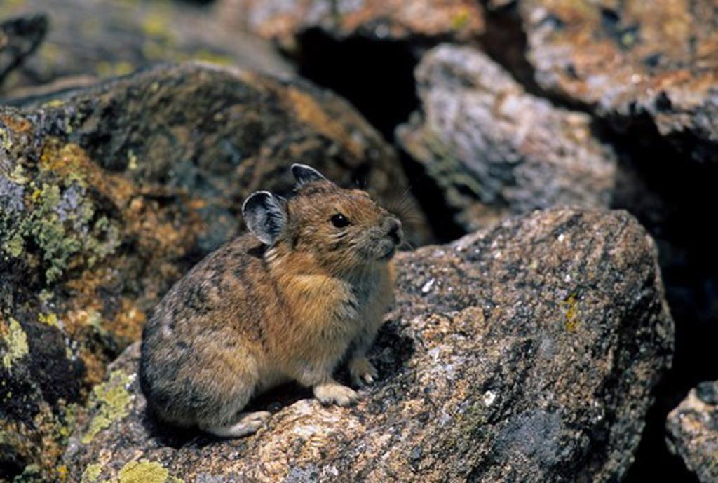 Pika (Ochotona princeps) on rocky talus.  Rocky Mountain National Park, CO : Stock Photo