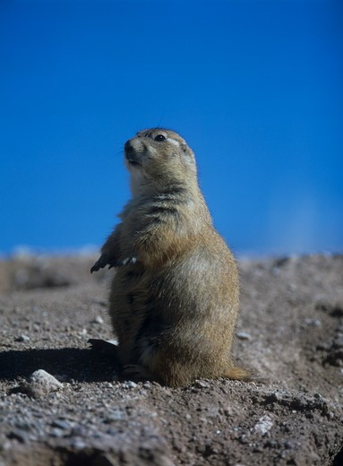 Stock Photo: 4179-24856 Blacktail Prairie Dog (Cynomys ludovicianus)