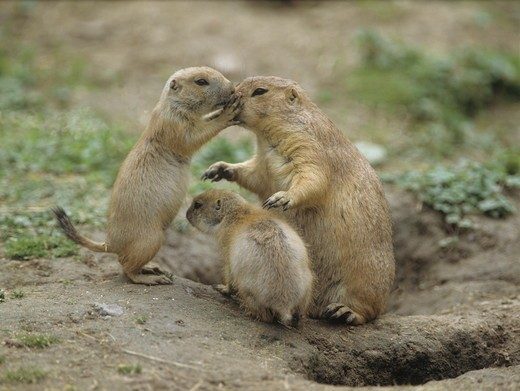 Stock Photo: 4179-24857 Blacktail Prairie Dog (Cynomys ludovicianus)
