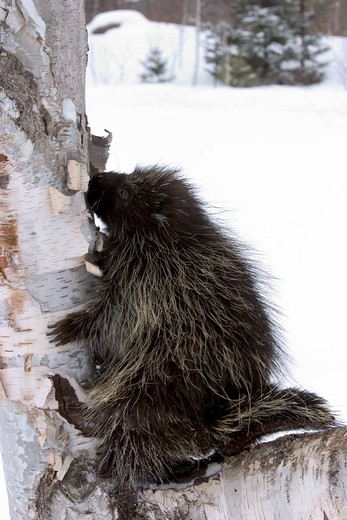 Stock Photo: 4179-24955 Porcupine climbing up branch during winter snow (Erethizon dorsatum) Minnesota Northwoods controlled situation