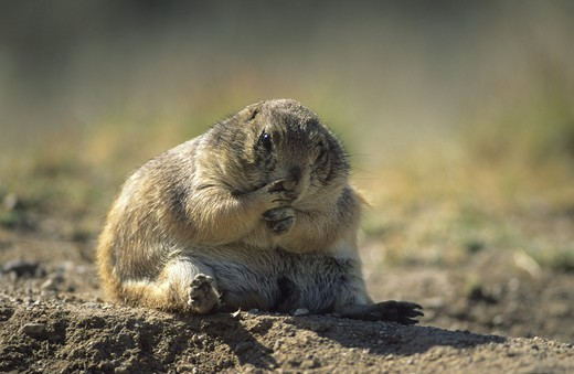Black-tailed Prairie Dog (Cynomys ludovicianus), adult : Stock Photo