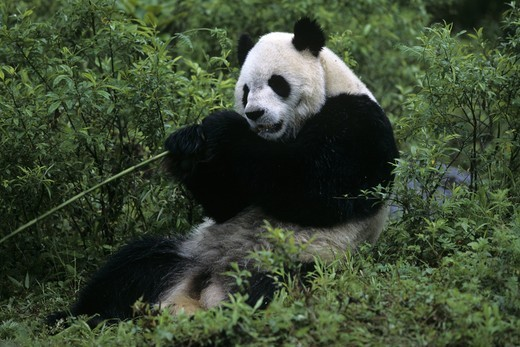 Stock Photo: 4179-25074 Giant Panda Wolong Nature Reserve Sichuan, China