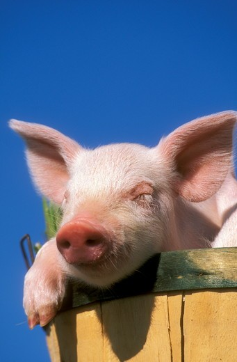 Mixed Breed Piglet : Stock Photo