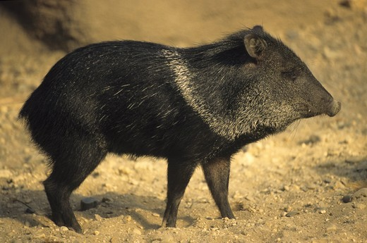 Stock Photo: 4179-25196 Collared Peccary (Tayassu tajacu) S. USA- C. Argentina