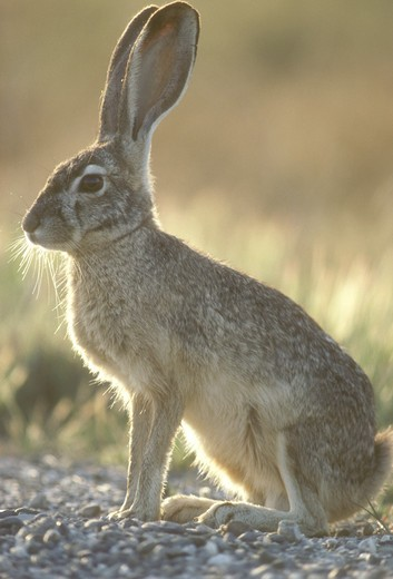 Black-Tailed Jack Rabbit (Lepus californicus) California : Stock Photo