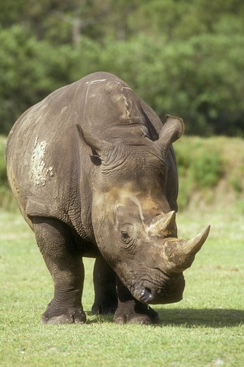 Stock Photo: 4179-25234 White Rhinoceros (Ceratotherium simum)