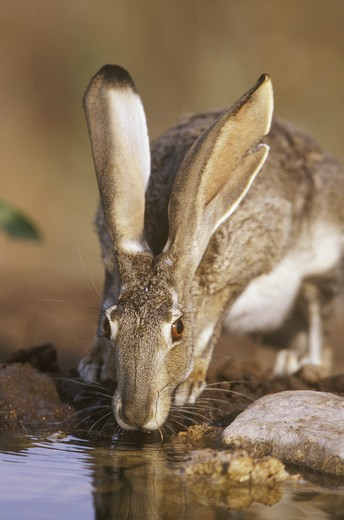 Stock Photo: 4179-25305 Black-tailed Jack Rabbit (Lepus californicus) drinking at water Starr Co. TX, Texas