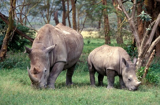 Adult female White Rhinoceros and baby grazing at the edge of woodland in Nakuru National Park, Kenya, Africa : Stock Photo