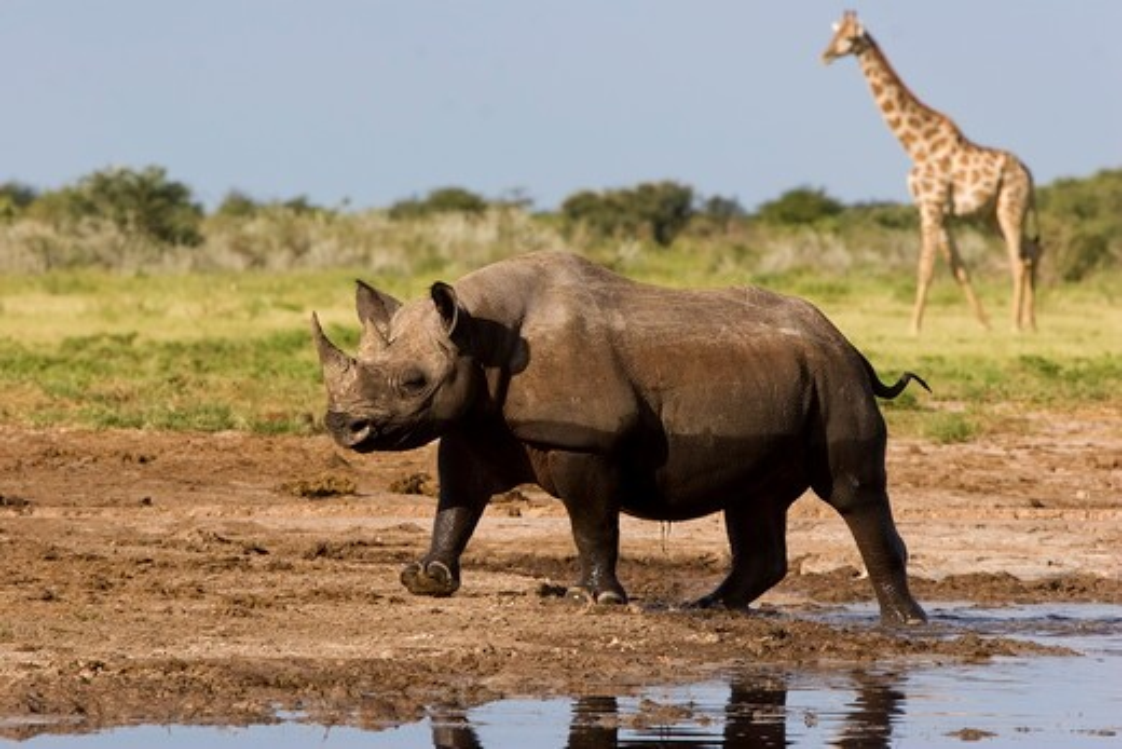 Stock Photo: 4179-25446 Black Rhino (Diceros bicornis) leaving waterhole and Giraffe (Giraffa camelopardelis) arriving