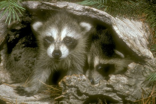 Stock Photo: 4179-25532 Baby Raccoons