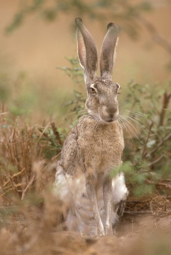 Blacktail Jackrabbit (Lepus californicus) S. Texas SW USA : Stock Photo