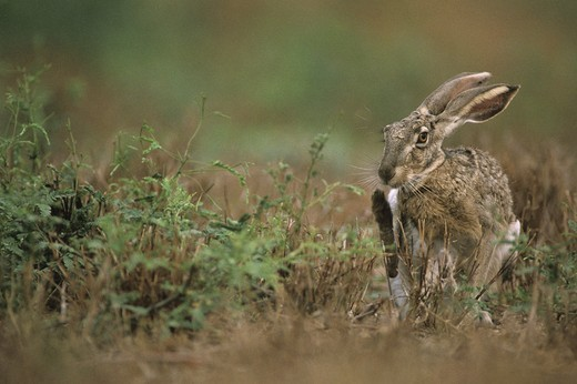 Blacktail Jackrabbit (Lepus californicus) scratching. S. Texas SW USA : Stock Photo