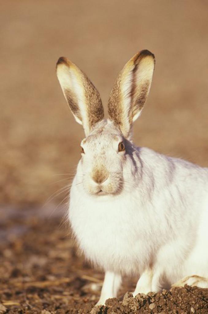 Stock Photo: 4179-25647 White-tailed Jackrabbit (Lepus townsendii), Montana