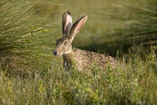 Black-tailed Jackrabbit (Lepus californicus) Welder Flats, Texas : Stock Photo