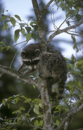 Stock Photo: 4179-25820 Raccoon (Procyon lotor) in tree, N. America, Europe