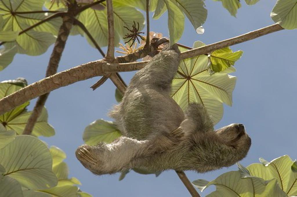 Three-toed Sloth (Bradypus tridactylus)  in Cercropia tree ,Quepos, Costa Rica : Stock Photo