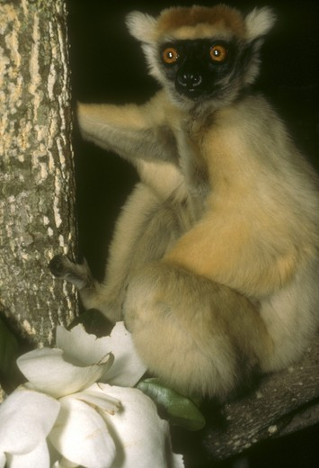 Stock Photo: 4179-25893 Golden-Crowned Sifaka (Propithecus tattersalli) w/ Magnolia Glandiflora
