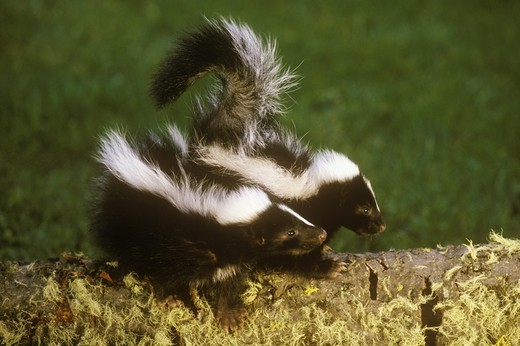 Striped Skunk (Mephitis mephitis) pair of babies, Montana : Stock Photo