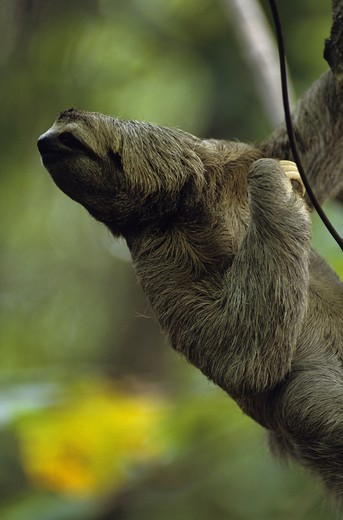 Three-toed Sloth (Bradypus variegatus) Manuel Antonio NP, Costa Rica : Stock Photo