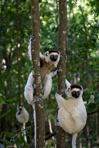 Stock Photo: 4179-25996 Verreaux`s Sifaka (Propithecus verreauxi) adults in Tree, Berenty Game Reserve, Madagascar