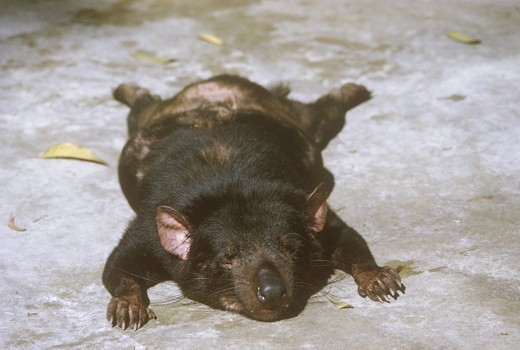 Stock Photo: 4179-26033 Tasmanian Devil, asleep, San Diego Zoo, California