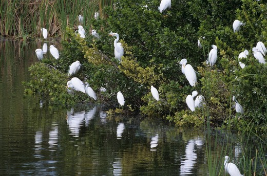 Stock Photo: 4179-2615 Great Egrets (Camerodius alba) & Snowy Egrets at Eco Pond, Everglades NP, FL, Florida, Jan