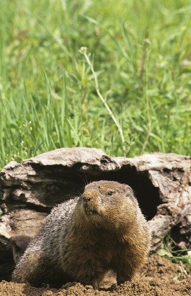 Stock Photo: 4179-26155 Woodchuck (Marmota monax)  IC Minnesota