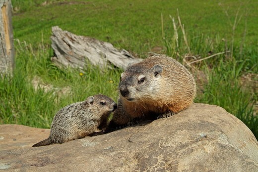 Woodchuck (Marmota monax) Minnesota,  Captive : Stock Photo