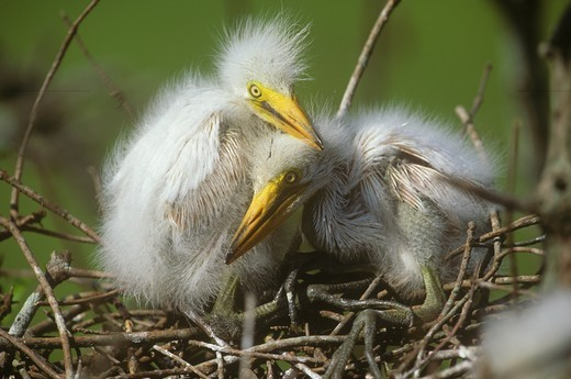 Stock Photo: 4179-2617 Great Egret Chicks (Casmerodius albus) in Nest, Lake Martin, LA
