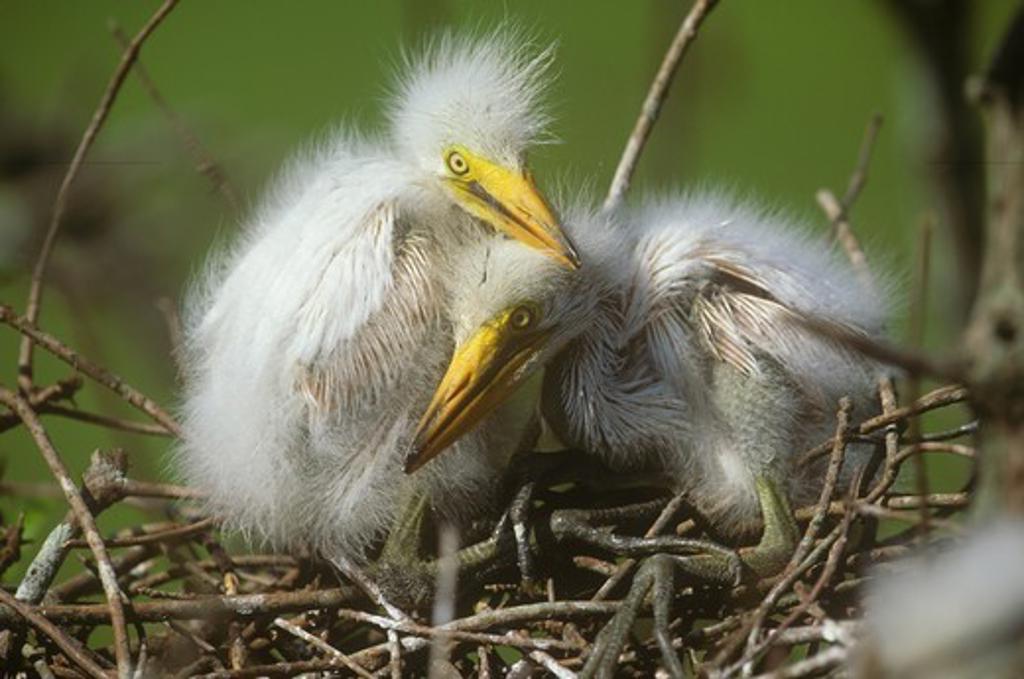 Great Egret Chicks (Casmerodius albus) in Nest, Lake Martin, LA : Stock Photo
